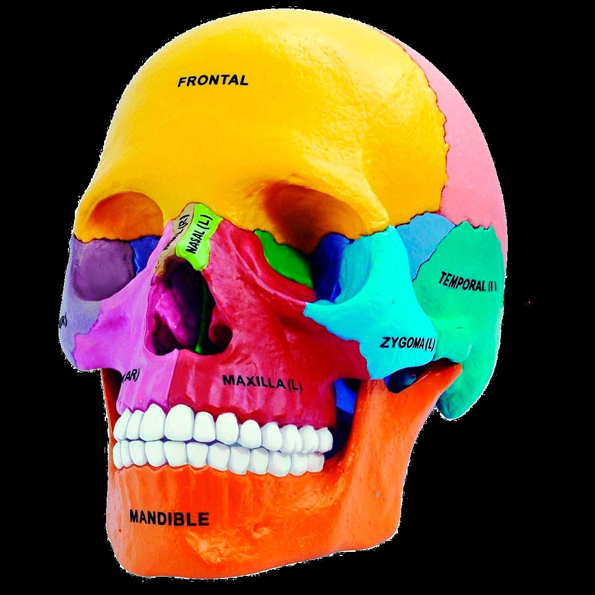 Medical didactic models