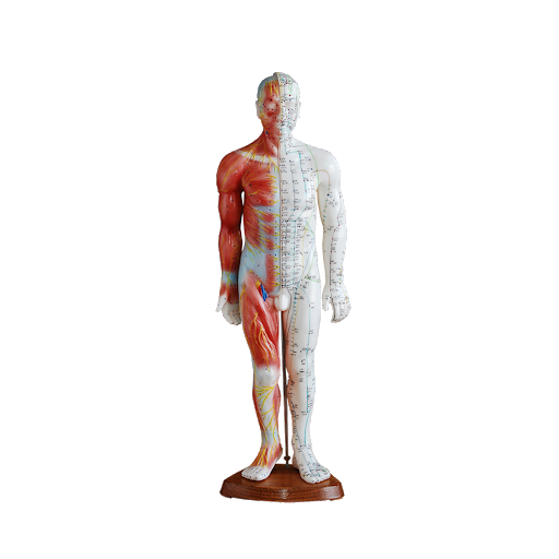 Anatomical models for acupuncture
